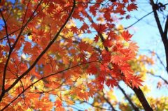 霜染枫叶满天红